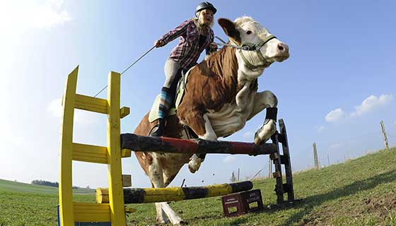 Cow-Jumping-photo