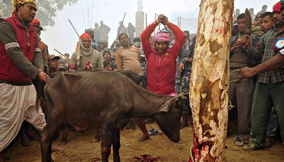 Buffalo-sacrifice